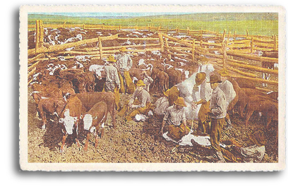 This vintage postcard shows cowboys and range hands busy with cattle branding season. Cattle drives and open range ranching played a key role in the ecconomy of Northern New Mexico in the old frontier days of the 1880s.